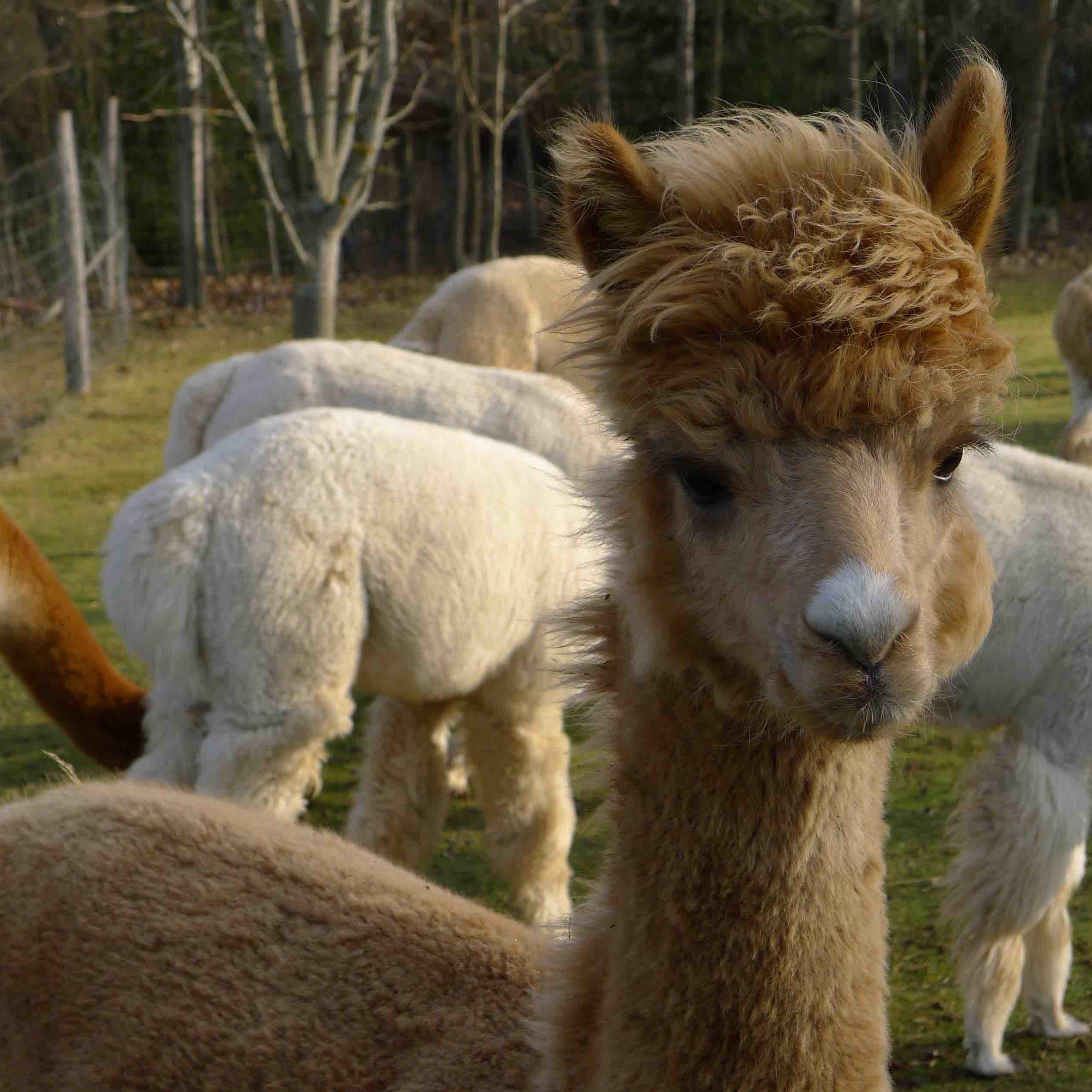 Alpakos reproduktoriai
